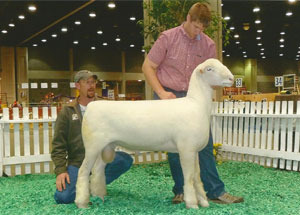 11-champ-polled-dorset-ram-naile