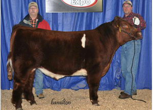12-high-selling-shorthorn