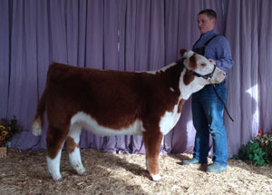 13-champion-hereford-steer-ohio-state-fair-maverick-pugh