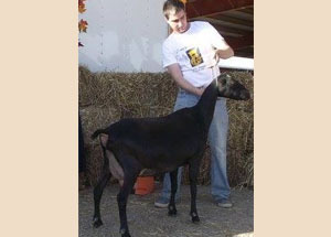 13-champion-lamancha-doe-national-goat-expo