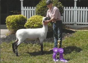 13-supreme-champion-ewe-van-wert-county-fair-austin-sorgen