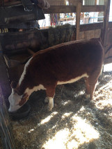 14-Champion-Hereford-Heifer-Hart-County-Fair-Connor-Jaggers