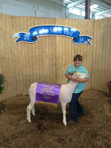 14-Champion-Slick-Shorn-Horned-Dorset-Ohio-State-Fair-Taylor-Dunlap