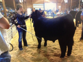 14-Grand-Champion-Steer-Parke-County-4H-Fair-Jayden-York