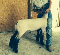 Champion-Suffolk-Market-Lamb-Indiana-State-Fair-Jordan-Stillwell