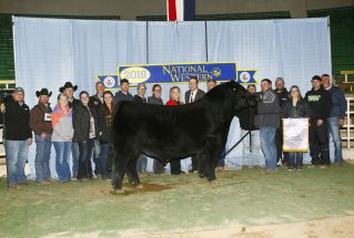 jones-show-cattle-open-champion-simmental-bull-nwss